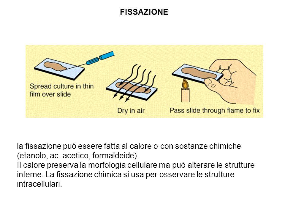 FISSAZIONE la fissazione può essere fatta al calore o con sostanze chimiche (etanolo, ac. acetico, formaldeide). Il calore preserva la morfologia cell