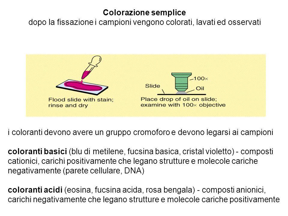 Colorazione semplice dopo la fissazione i campioni vengono colorati, lavati ed osservati i coloranti devono avere un gruppo cromoforo e devono legarsi
