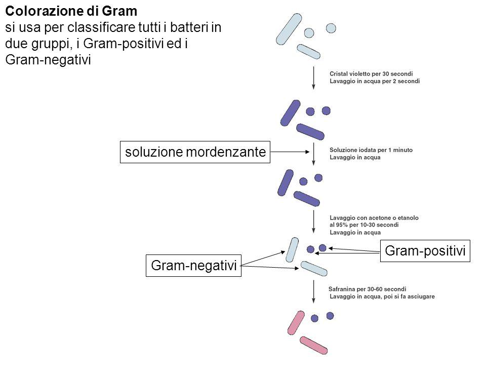 soluzione mordenzante Gram-negativi Gram-positivi Colorazione di Gram si usa per classificare tutti i batteri in due gruppi, i Gram-positivi ed i Gram