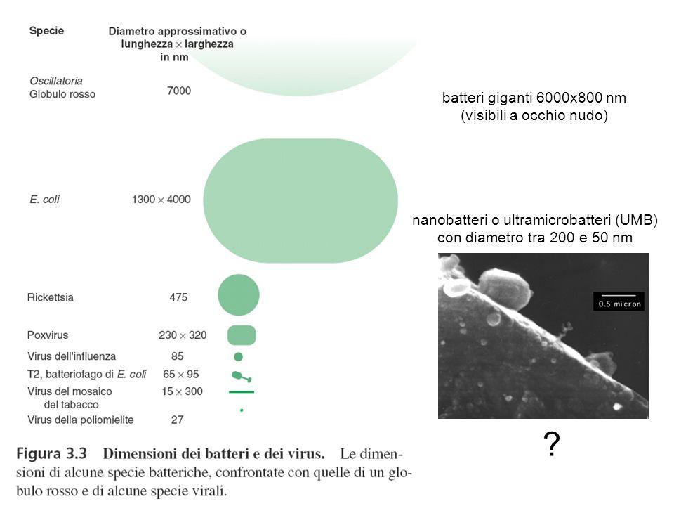 batteri giganti 6000x800 nm (visibili a occhio nudo) nanobatteri o ultramicrobatteri (UMB) con diametro tra 200 e 50 nm ?