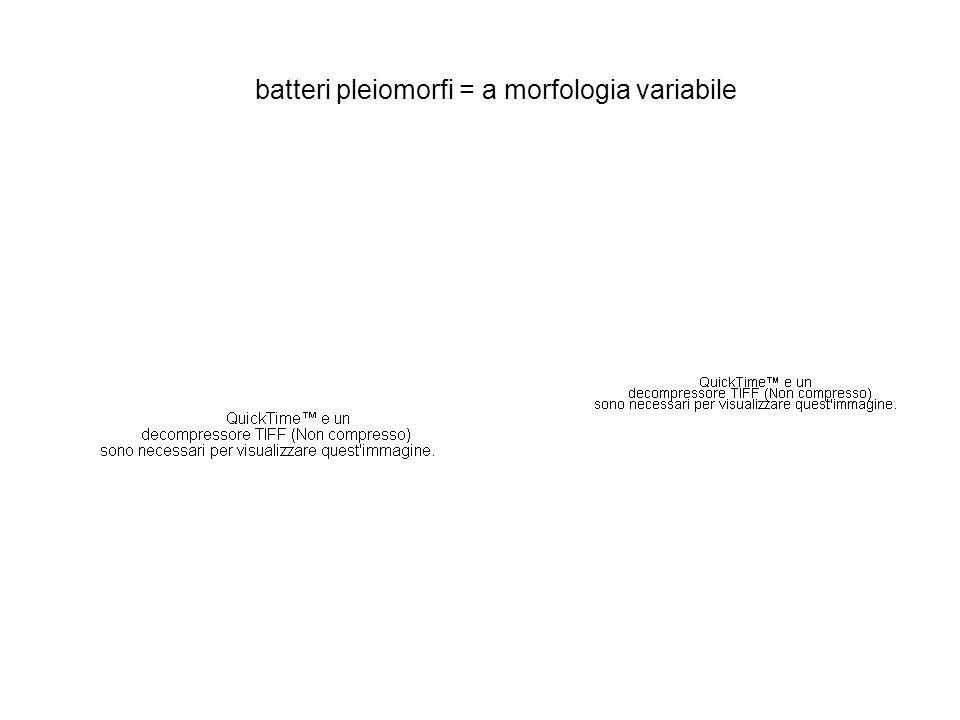 batteri pleiomorfi = a morfologia variabile