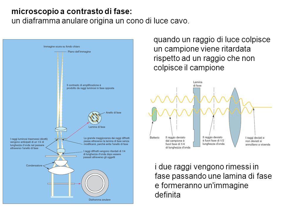 microscopio a contrasto di fase: un diaframma anulare origina un cono di luce cavo. quando un raggio di luce colpisce un campione viene ritardata risp