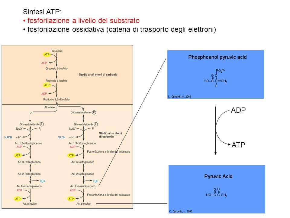 Sintesi ATP: fosforilazione a livello del substrato fosforilazione ossidativa (catena di trasporto degli elettroni) ADP ATP