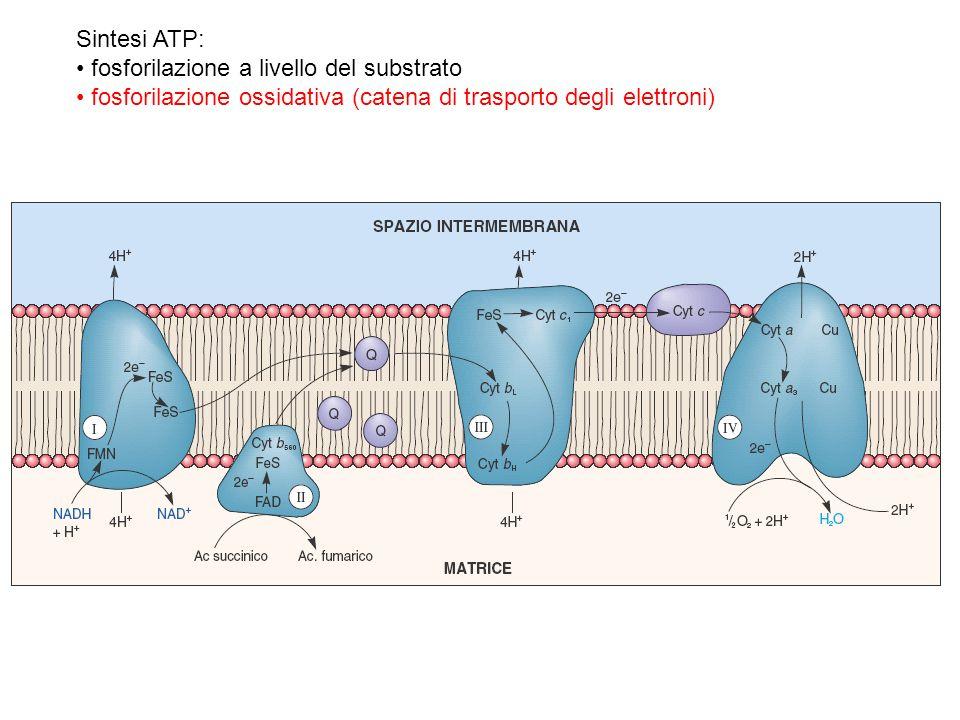 Sintesi ATP: fosforilazione a livello del substrato fosforilazione ossidativa (catena di trasporto degli elettroni)