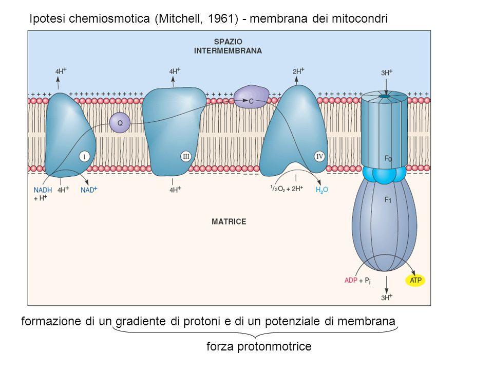 Ipotesi chemiosmotica (Mitchell, 1961) - membrana dei mitocondri formazione di un gradiente di protoni e di un potenziale di membrana forza protonmotr