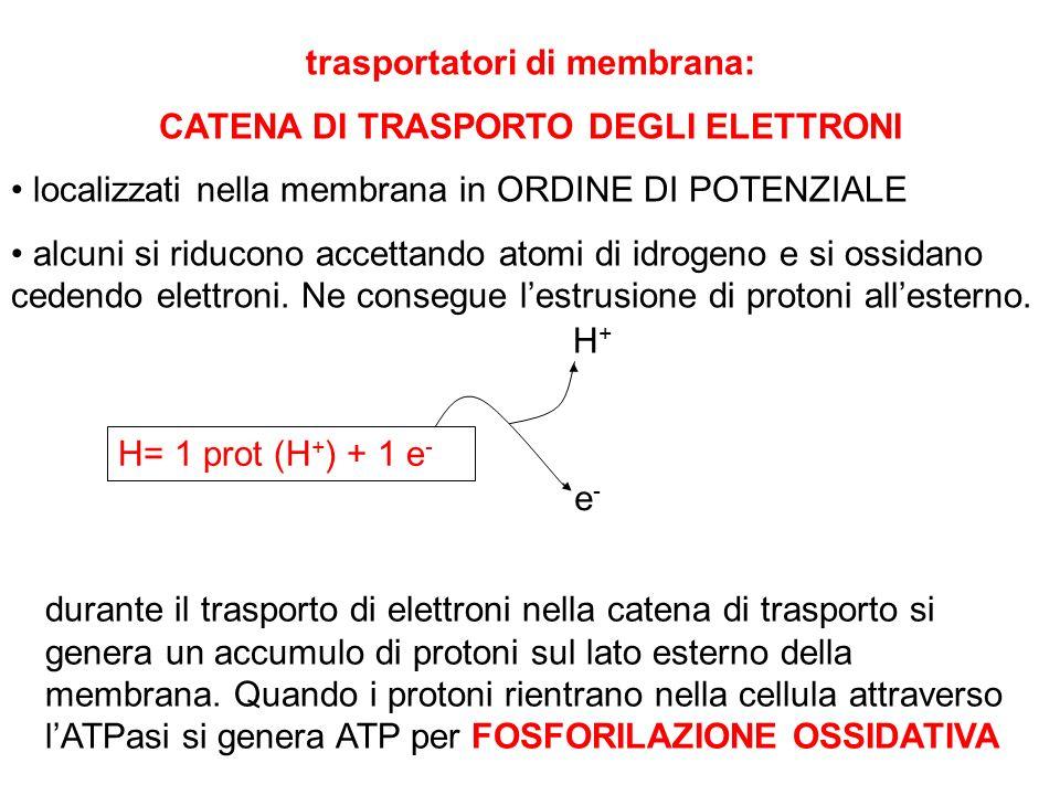 trasportatori di membrana: CATENA DI TRASPORTO DEGLI ELETTRONI localizzati nella membrana in ORDINE DI POTENZIALE alcuni si riducono accettando atomi