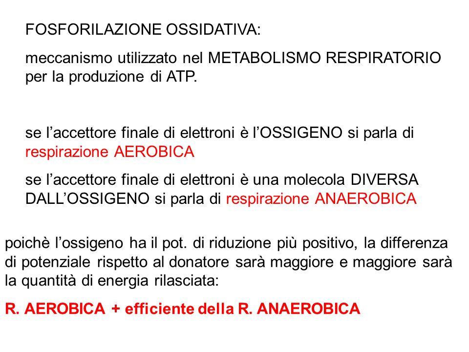 FOSFORILAZIONE OSSIDATIVA: meccanismo utilizzato nel METABOLISMO RESPIRATORIO per la produzione di ATP. se laccettore finale di elettroni è lOSSIGENO