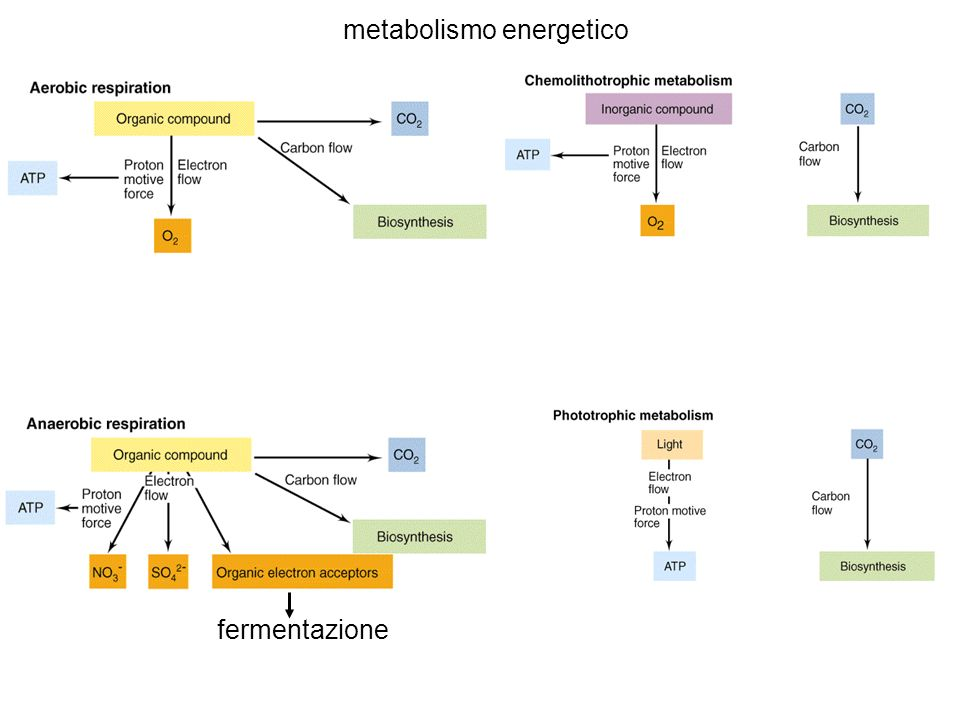 metabolismo energetico fermentazione