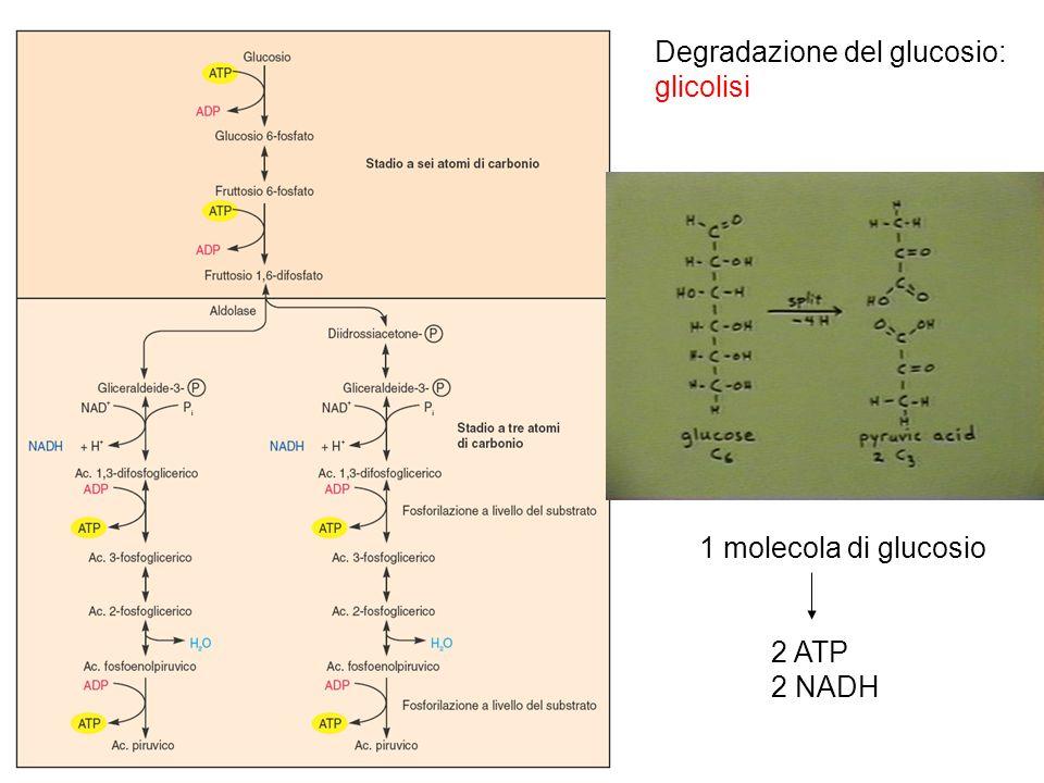 Degradazione del glucosio: glicolisi 1 molecola di glucosio 2 ATP 2 NADH