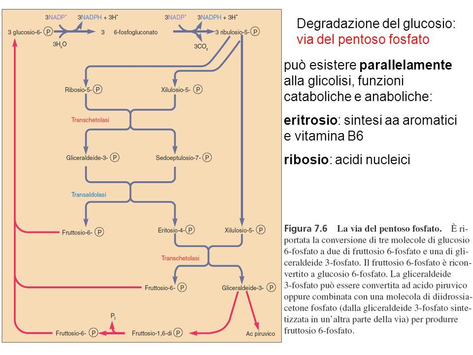 Degradazione del glucosio: via del pentoso fosfato può esistere parallelamente alla glicolisi, funzioni cataboliche e anaboliche: eritrosio: sintesi a