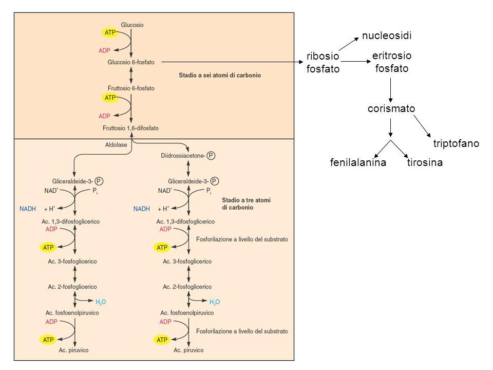 il NADH si riossida cedendo elettroni alla catena di trasporto.