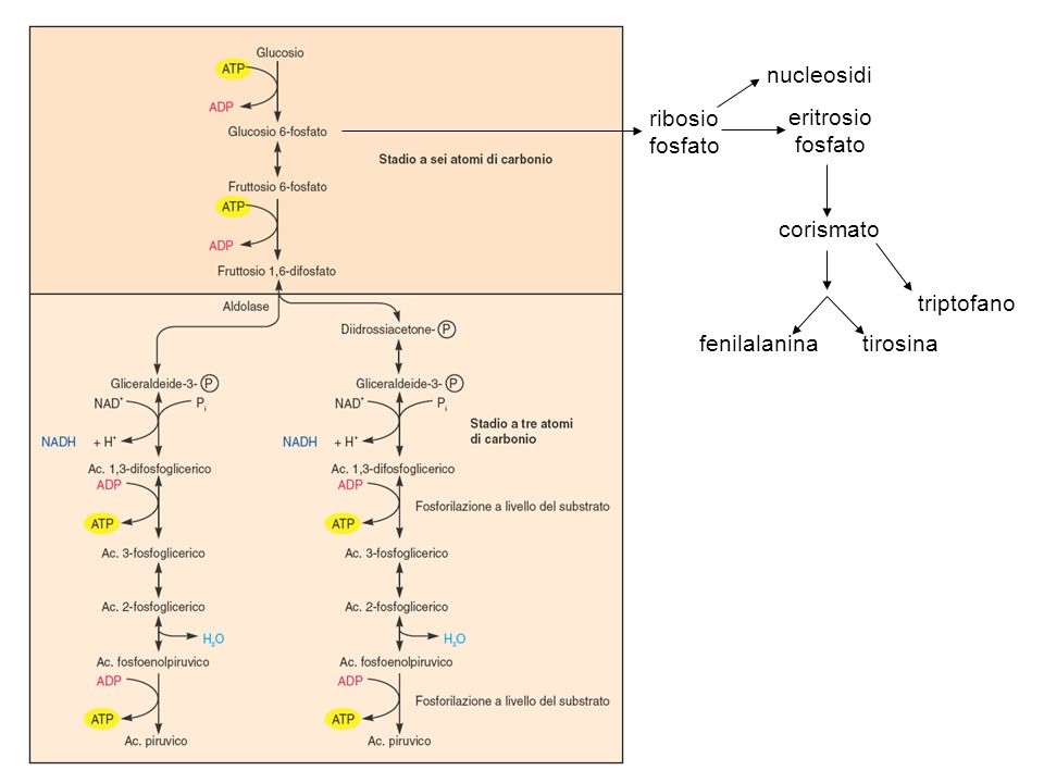 serina cisteina glicina aminoacidi ramificati