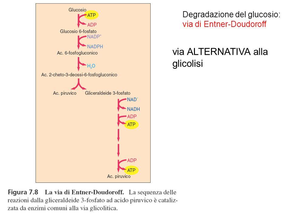 Degradazione del glucosio: via di Entner-Doudoroff via ALTERNATIVA alla glicolisi