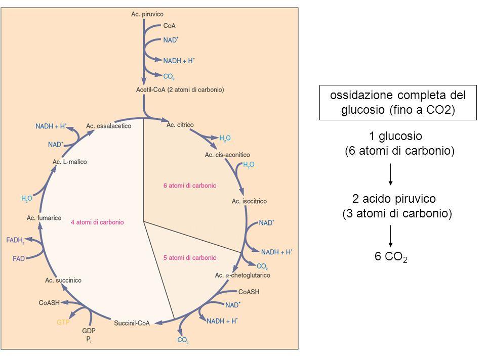 1 glucosio (6 atomi di carbonio) 2 acido piruvico (3 atomi di carbonio) 6 CO 2 ossidazione completa del glucosio (fino a CO2)