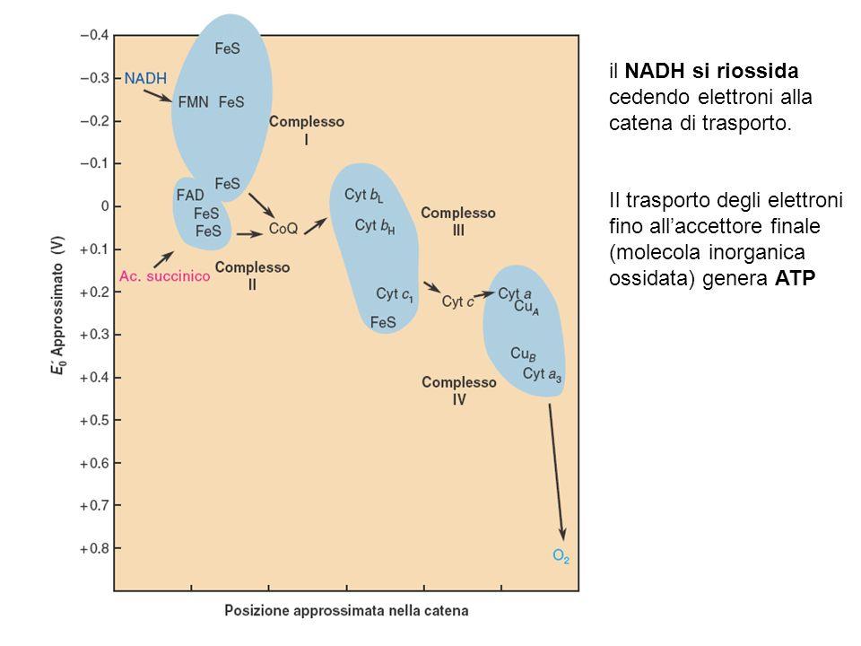 il NADH si riossida cedendo elettroni alla catena di trasporto. Il trasporto degli elettroni fino allaccettore finale (molecola inorganica ossidata) g
