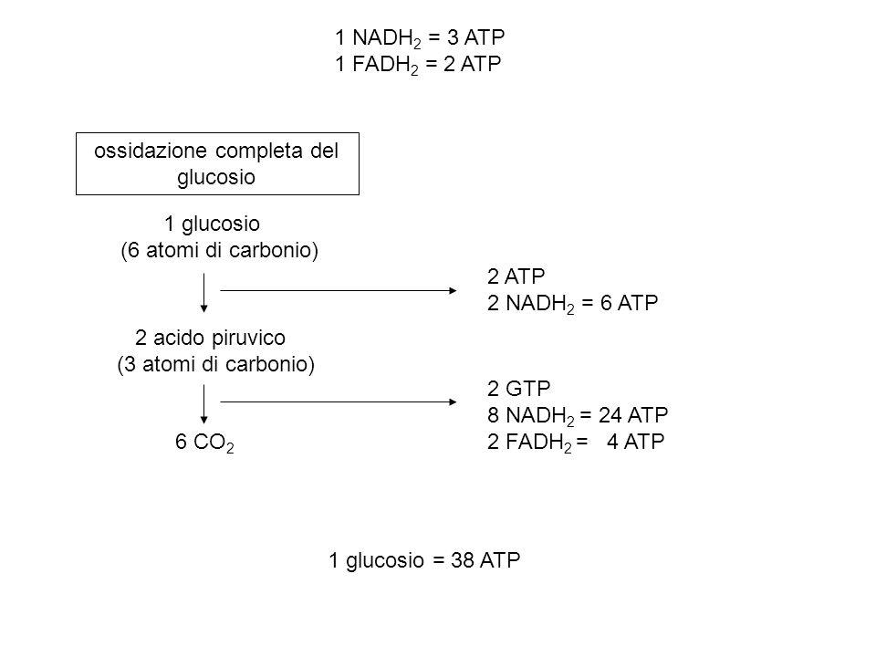 1 glucosio (6 atomi di carbonio) 2 acido piruvico (3 atomi di carbonio) 6 CO 2 ossidazione completa del glucosio 2 ATP 2 NADH 2 = 6 ATP 2 GTP 8 NADH 2