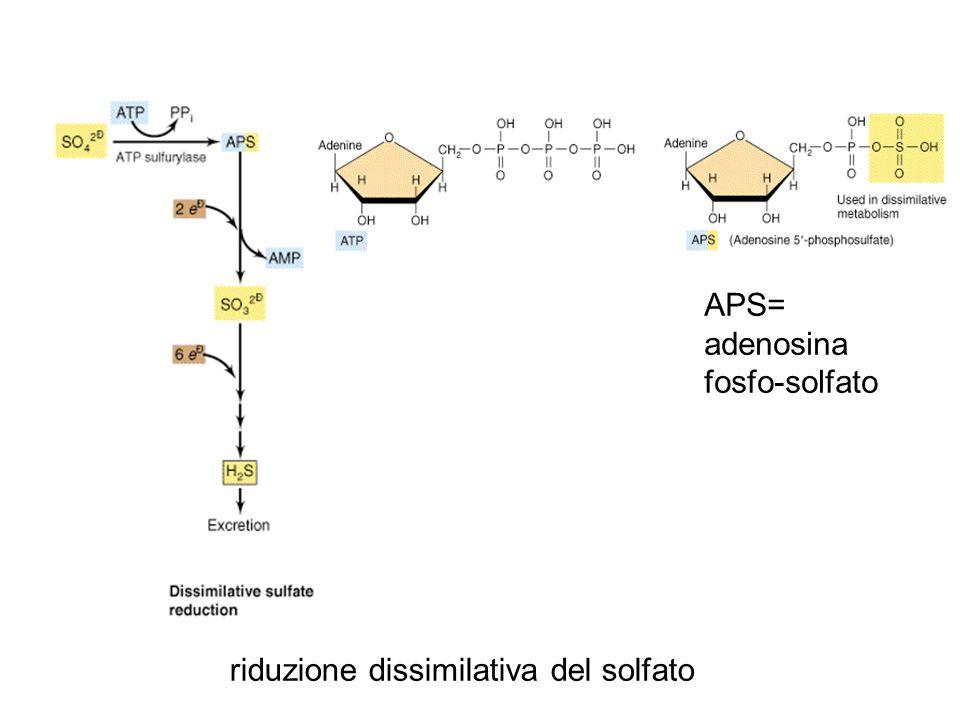 riduzione dissimilativa del solfato APS= adenosina fosfo-solfato