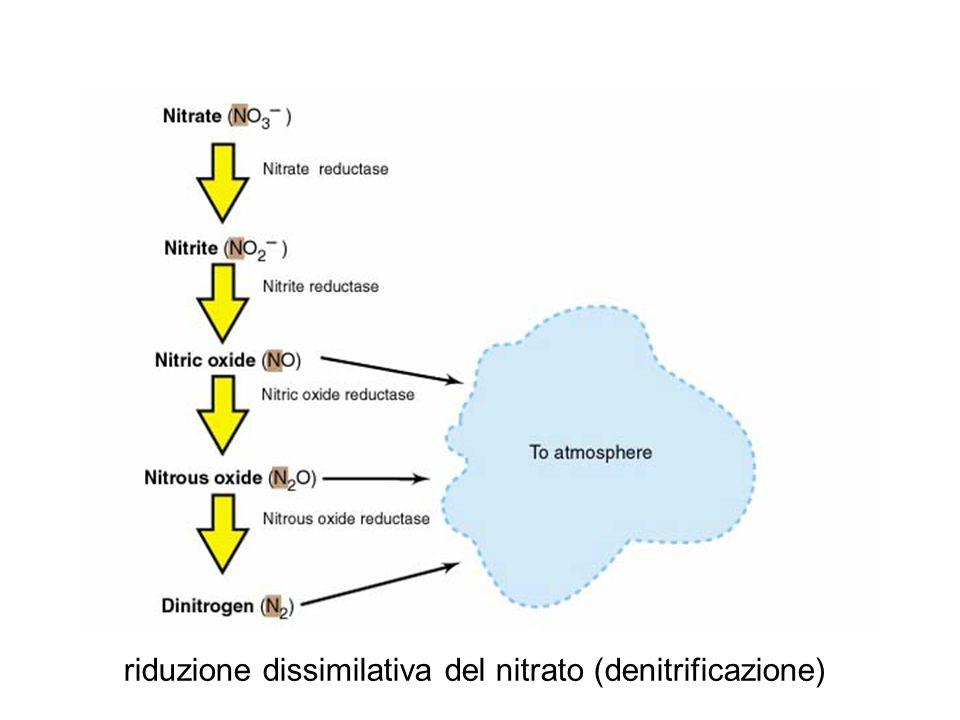 riduzione dissimilativa del nitrato (denitrificazione)