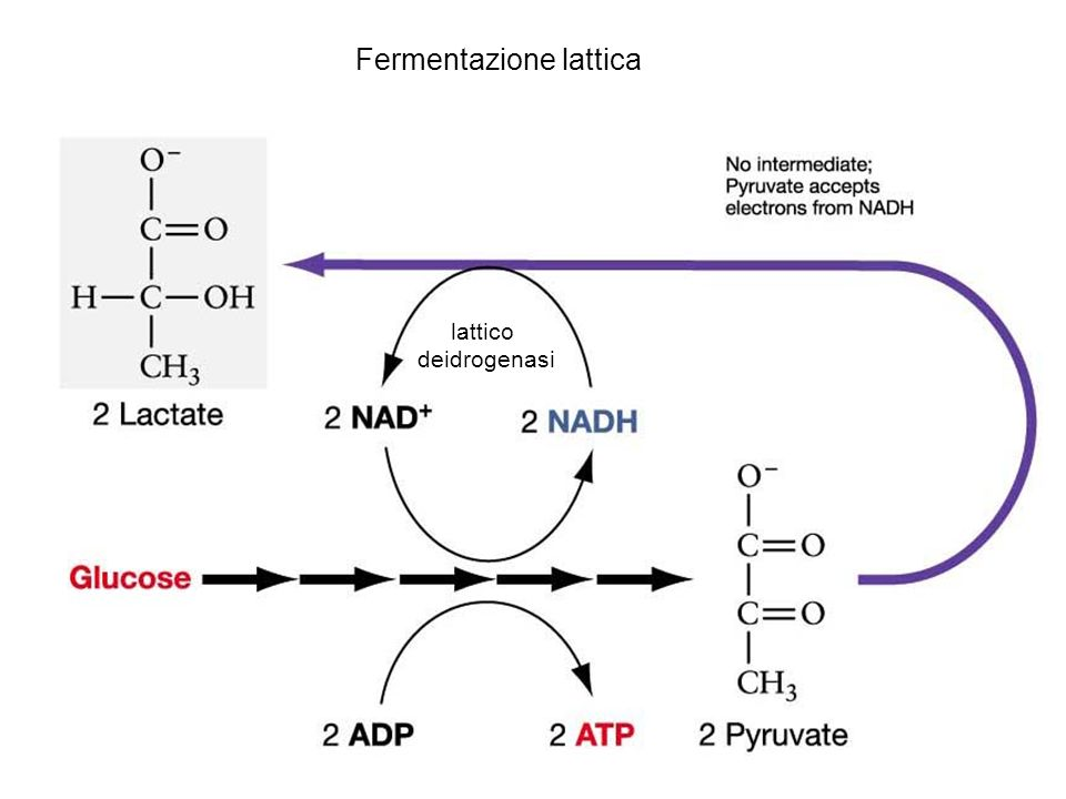 lattico deidrogenasi Fermentazione lattica