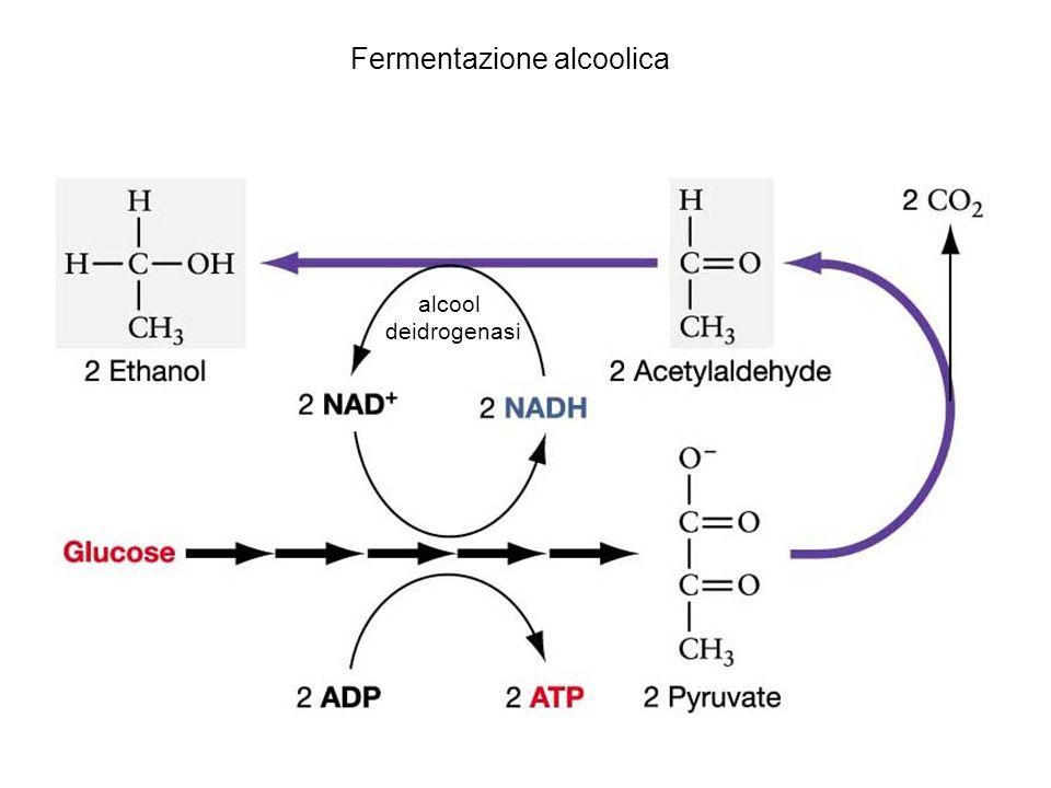 alcool deidrogenasi Fermentazione alcoolica