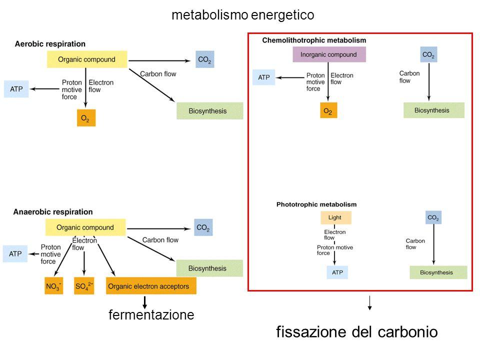 metabolismo energetico fermentazione fissazione del carbonio