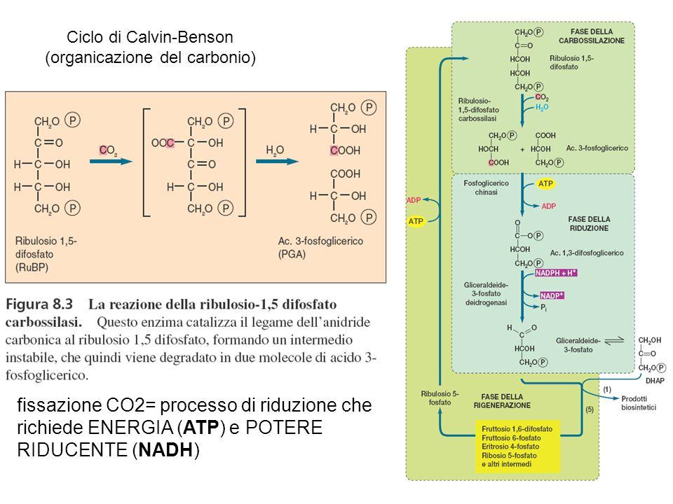 Ciclo di Calvin-Benson (organicazione del carbonio) fissazione CO2= processo di riduzione che richiede ENERGIA (ATP) e POTERE RIDUCENTE (NADH)