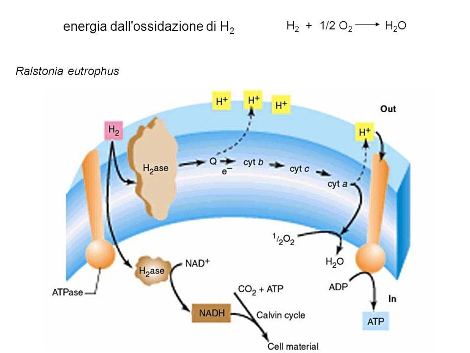 energia dall'ossidazione di H 2 H 2 + 1/2 O 2 H 2 O Ralstonia eutrophus