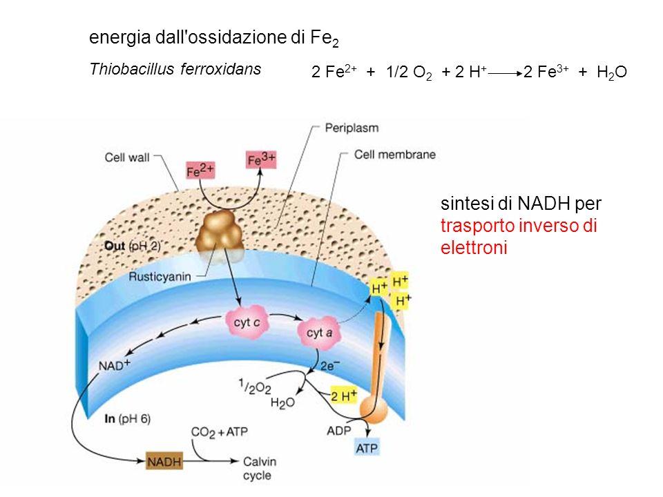 energia dall'ossidazione di Fe 2 2 Fe 2+ + 1/2 O 2 + 2 H + 2 Fe 3+ + H 2 O Thiobacillus ferroxidans sintesi di NADH per trasporto inverso di elettroni