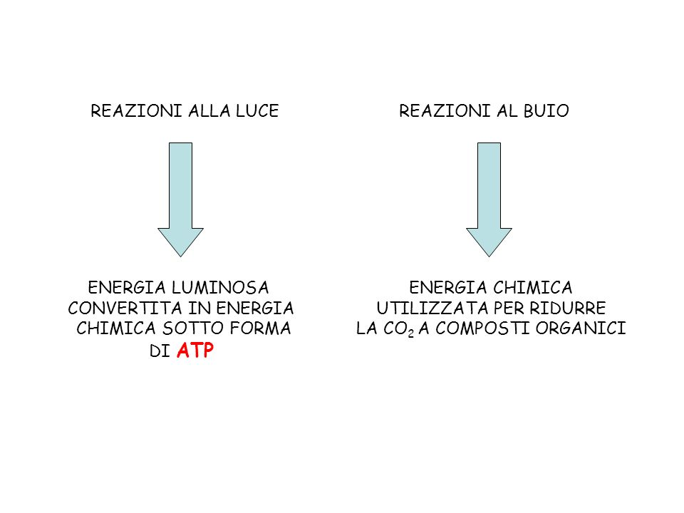 REAZIONI ALLA LUCE ENERGIA LUMINOSA CONVERTITA IN ENERGIA CHIMICA SOTTO FORMA DI ATP REAZIONI AL BUIO ENERGIA CHIMICA UTILIZZATA PER RIDURRE LA CO 2 A
