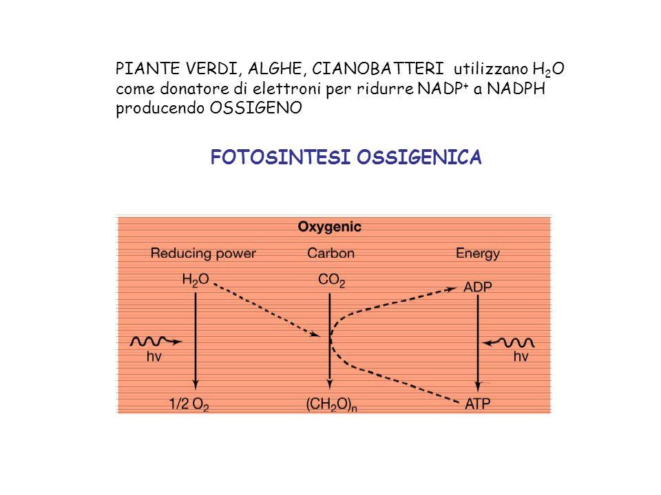 PIANTE VERDI, ALGHE, CIANOBATTERI utilizzano H 2 O come donatore di elettroni per ridurre NADP + a NADPH producendo OSSIGENO FOTOSINTESI OSSIGENICA