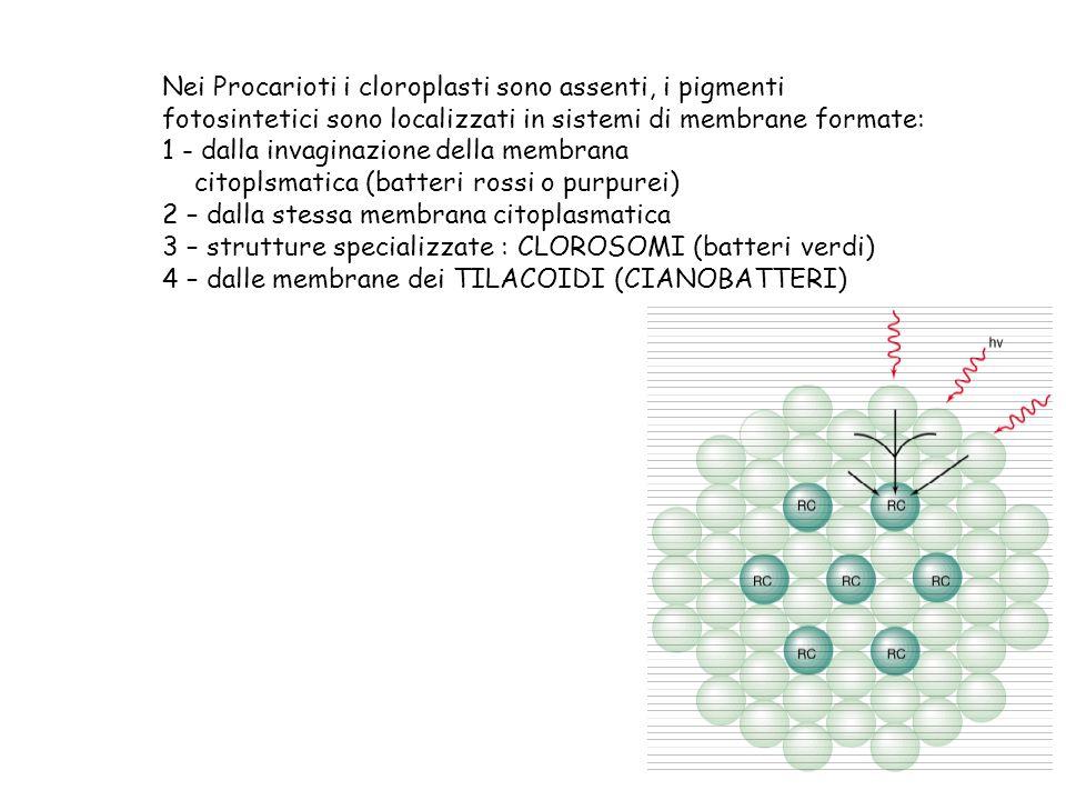 Nei Procarioti i cloroplasti sono assenti, i pigmenti fotosintetici sono localizzati in sistemi di membrane formate: 1 - dalla invaginazione della mem
