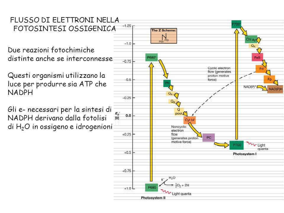 FLUSSO DI ELETTRONI NELLA FOTOSINTESI OSSIGENICA Due reazioni fotochimiche distinte anche se interconnesse Questi organismi utilizzano la luce per pro