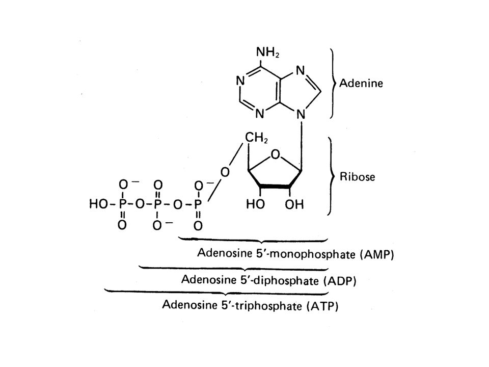 ATP + H 2 O ADP + P G° = -7,3 Kcal ADP + H 2 O AMP + P G° = -7,3 Kcal AMP + H 2 O adenosina + P G° = -3,4 Kcal