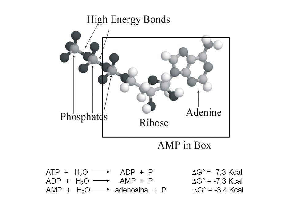 GTP funzioni ribosomali UTP sintesi peptidoglicano CTP sintesi fosfolipidi dTTP sintesi lipopolisaccaridi AcetilCoA sintesi acidi grassi Sintesi ATP: fosforilazione a livello del substrato fosforilazione ossidativa (catena di trasporto degli elettroni)