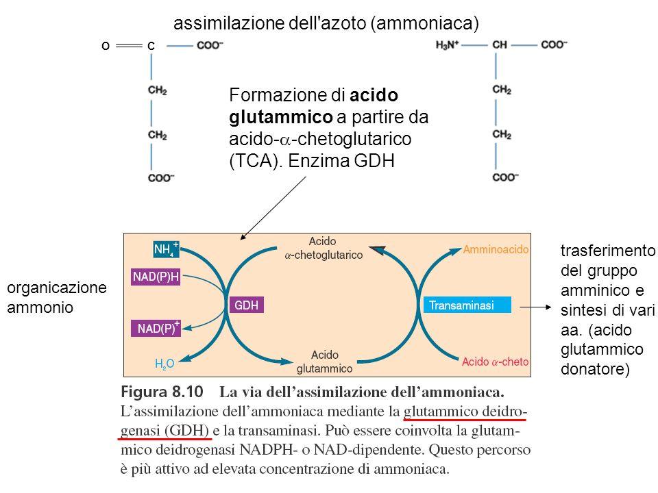 CO assimilazione dell'azoto (ammoniaca) Formazione di acido glutammico a partire da acido- -chetoglutarico (TCA). Enzima GDH organicazione ammonio tra