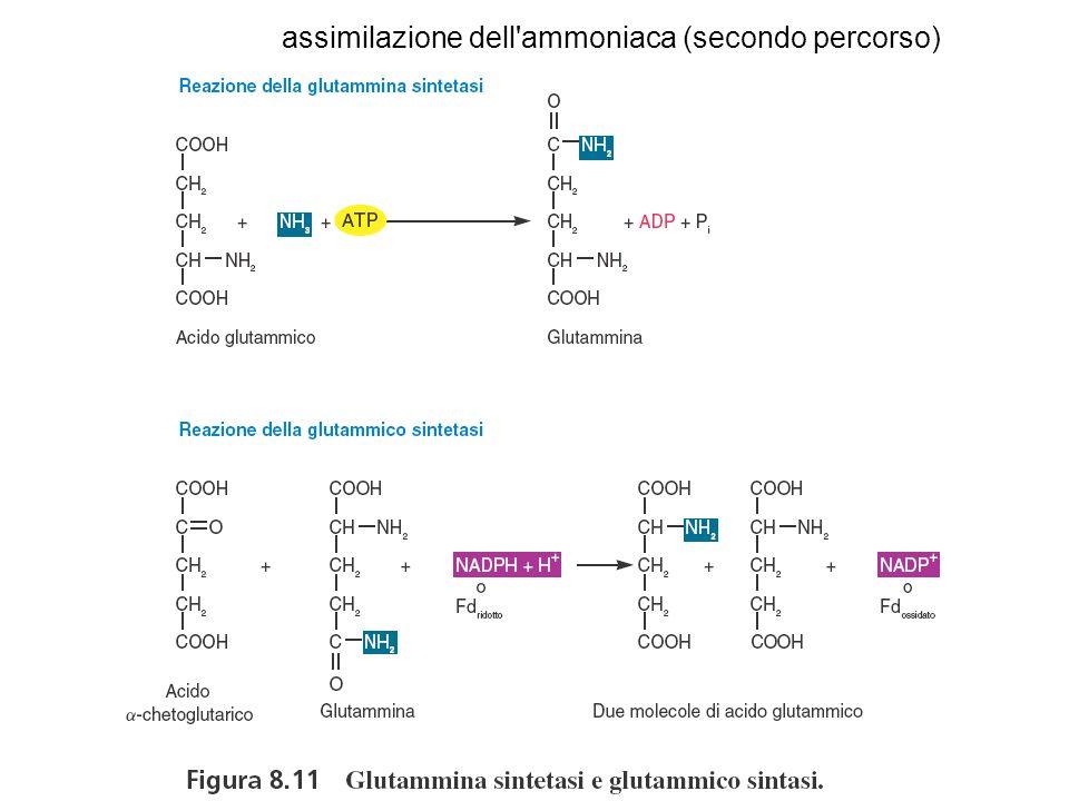 assimilazione dell'ammoniaca (secondo percorso)