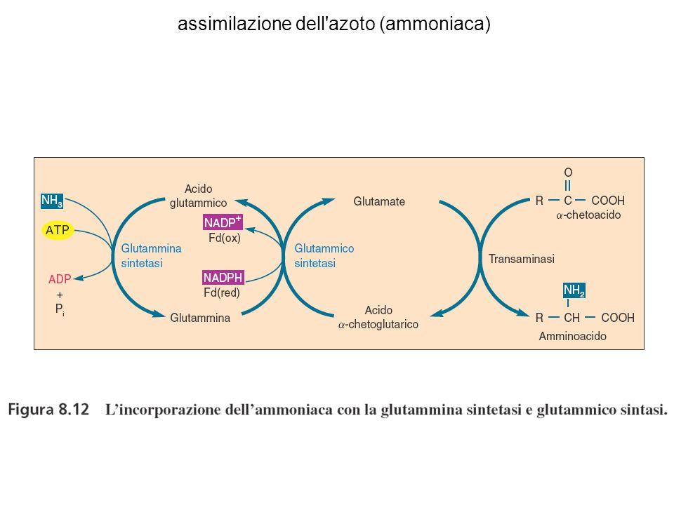 assimilazione dell'azoto (ammoniaca)