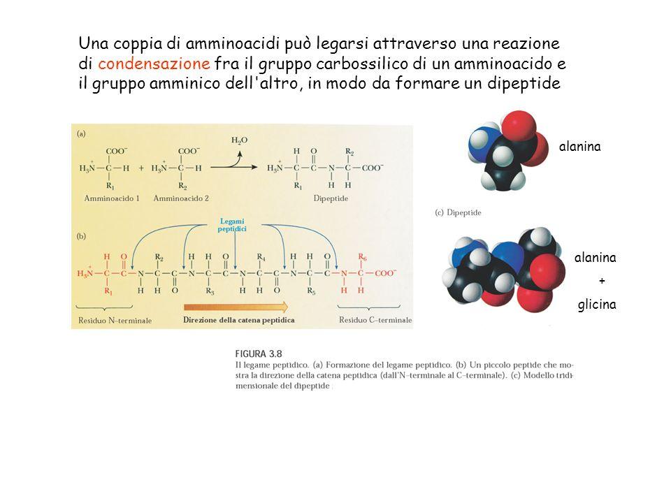 alanina Una coppia di amminoacidi può legarsi attraverso una reazione di condensazione fra il gruppo carbossilico di un amminoacido e il gruppo ammini