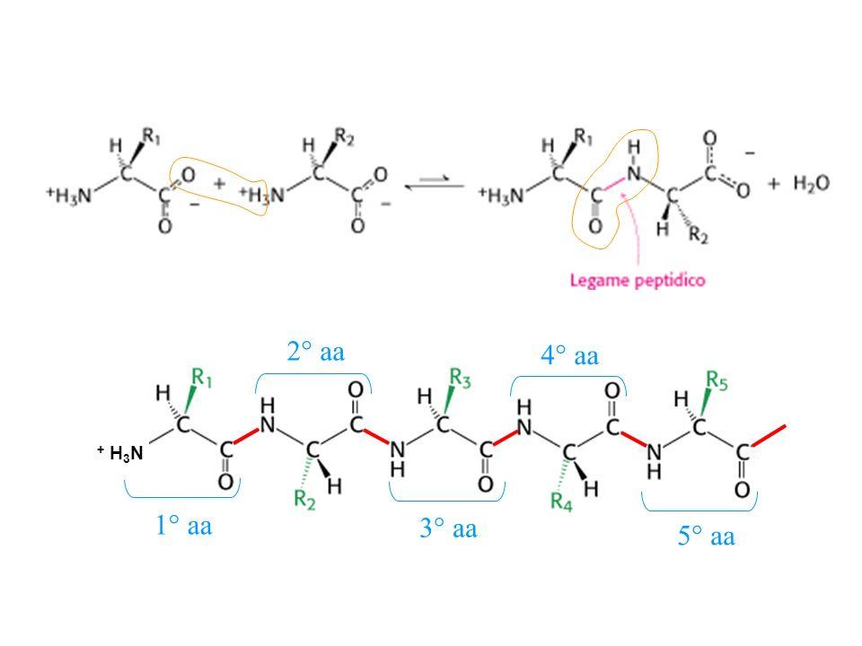 Il legame ammidico si forma per condensazione Unisce il carbonile CO a NH Può essere ripetuto molte volte Il legame ha una direzione N C Lidrolisi del legame peptidico avviene molto lentamente per lelevata energia di attivazsione, anche se è una reazione esoergonica + H 2 O