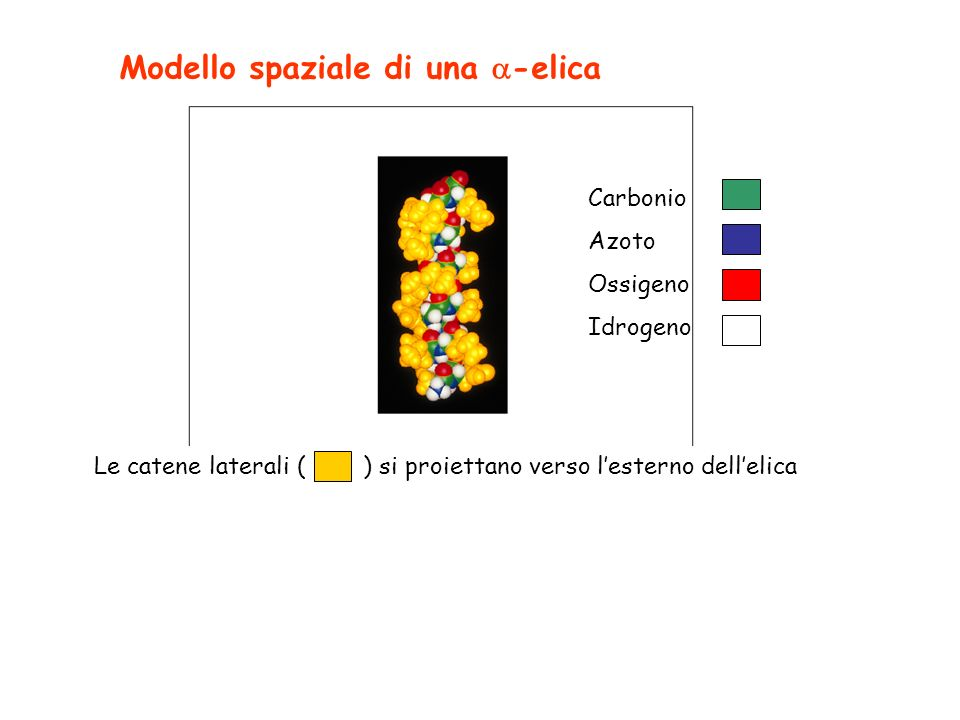 Modello spaziale di una -elica Carbonio Azoto Ossigeno Idrogeno Le catene laterali ( ) si proiettano verso lesterno dellelica