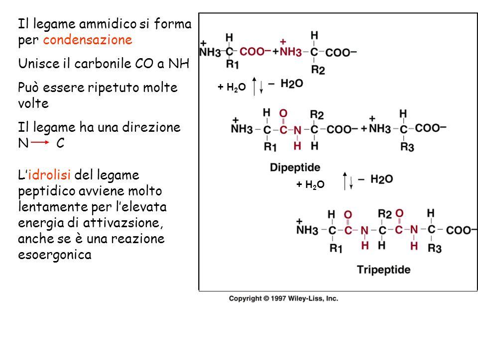 Il legame ammidico si forma per condensazione Unisce il carbonile CO a NH Può essere ripetuto molte volte Il legame ha una direzione N C Lidrolisi del