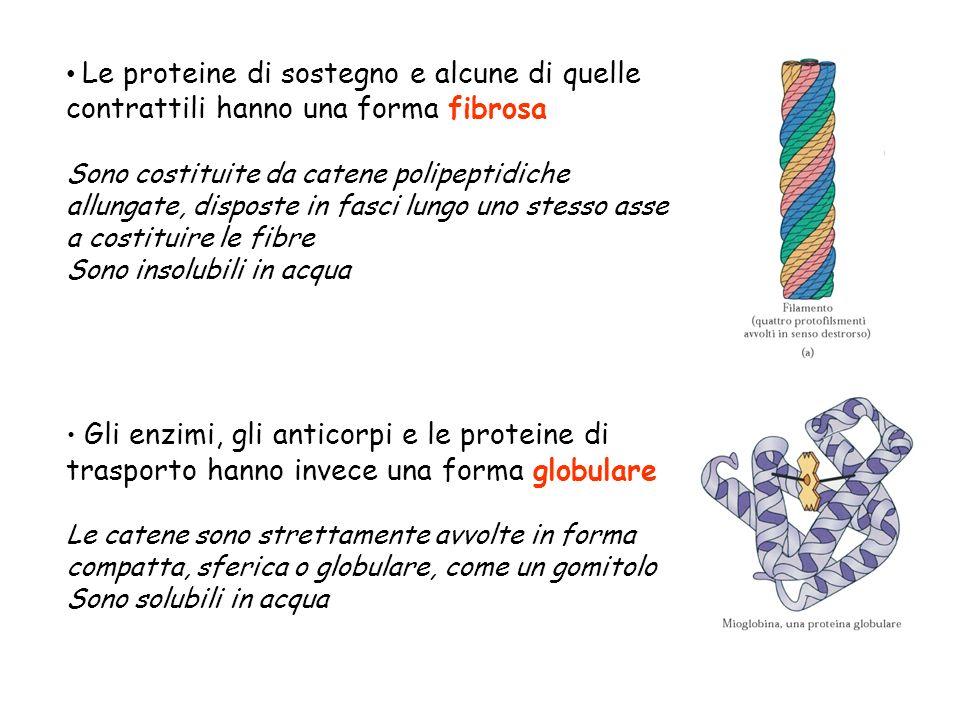 Le proteine di sostegno e alcune di quelle contrattili hanno una forma fibrosa Sono costituite da catene polipeptidiche allungate, disposte in fasci l