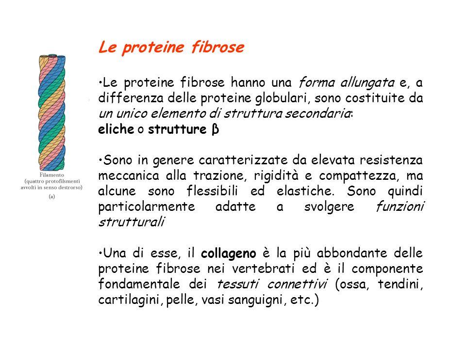 Le proteine fibrose Le proteine fibrose hanno una forma allungata e, a differenza delle proteine globulari, sono costituite da un unico elemento di st