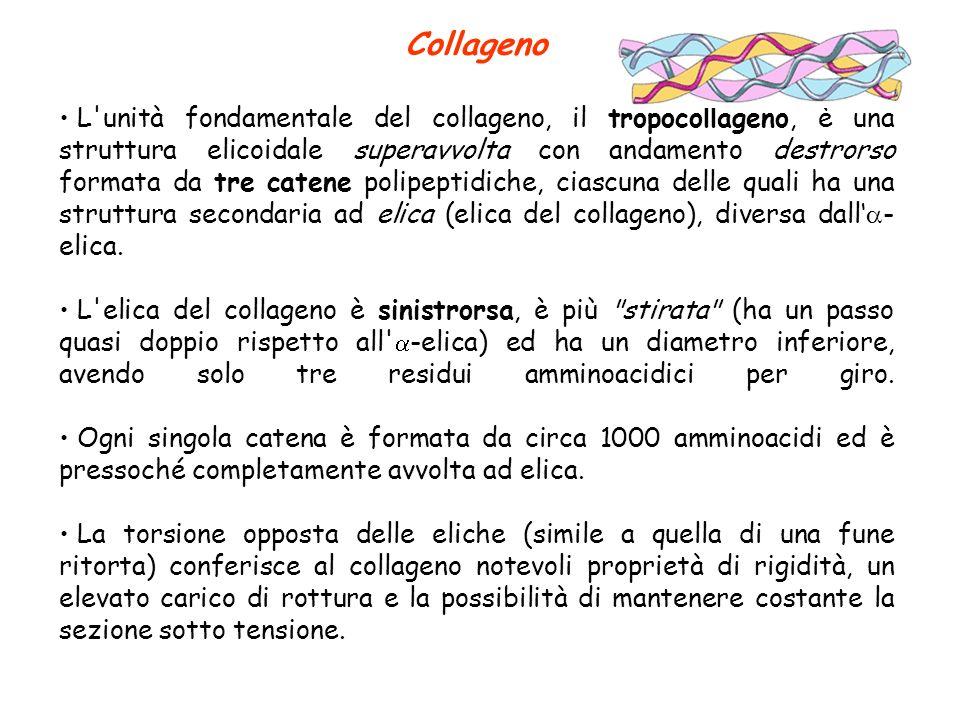 Collageno L'unità fondamentale del collageno, il tropocollageno, è una struttura elicoidale superavvolta con andamento destrorso formata da tre catene