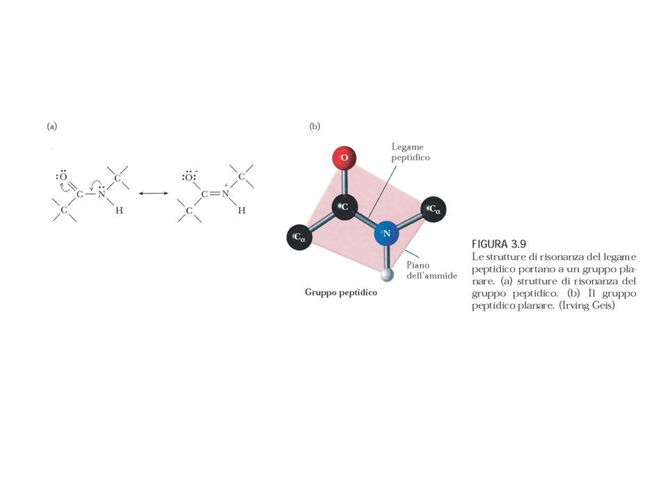 L -elica presente nelle proteine è quasi sempre destrorsa (l andamento è quello della filettatura di una vite tradizionale) Gli amminoacidi proteici sono tutti nella configurazione L e in un elica sinistrorsa i gruppi laterali R risulterebbero troppo vicini ai gruppi C=O, destabilizzando l elica.