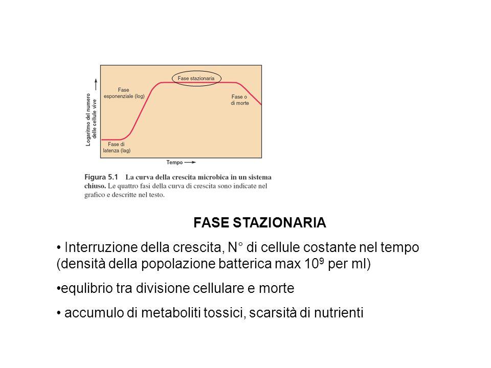 FASE STAZIONARIA Interruzione della crescita, N° di cellule costante nel tempo (densità della popolazione batterica max 10 9 per ml) equlibrio tra div