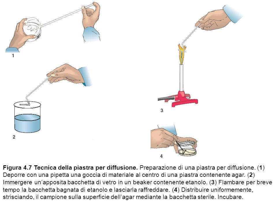 Figura 4.7 Tecnica della piastra per diffusione. Preparazione di una piastra per diffusione. (1) Deporre con una pipetta una goccia di materiale al ce