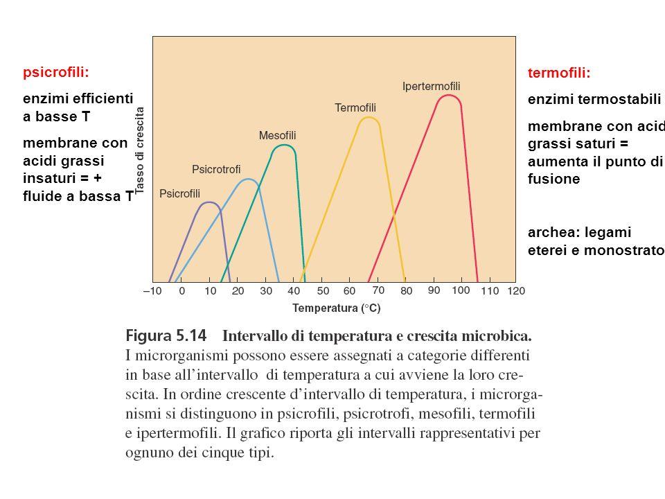 psicrofili: enzimi efficienti a basse T membrane con acidi grassi insaturi = + fluide a bassa T termofili: enzimi termostabili membrane con acidi gras