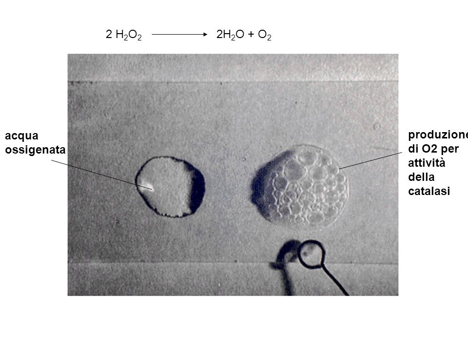 2 H 2 O 2 2H 2 O + O 2 acqua ossigenata produzione di O2 per attività della catalasi