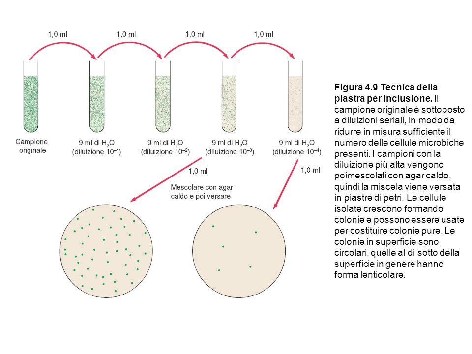 Figura 4.9 Tecnica della piastra per inclusione. Il campione originale è sottoposto a diluizioni seriali, in modo da ridurre in misura sufficiente il
